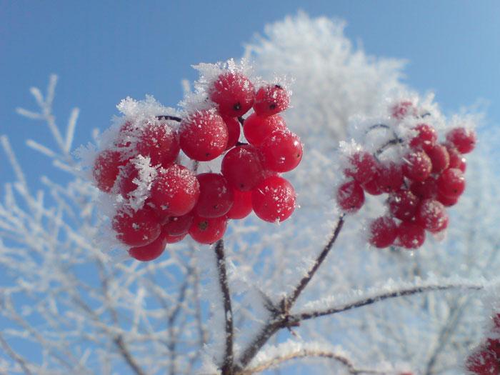 Калина зимой