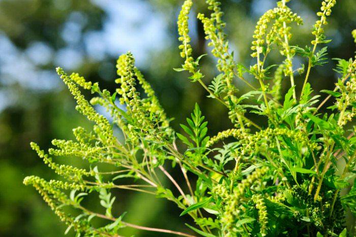 Амброзия - один из самых сильных аллергенов