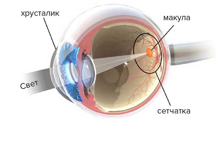 Расположение макулы в глазу