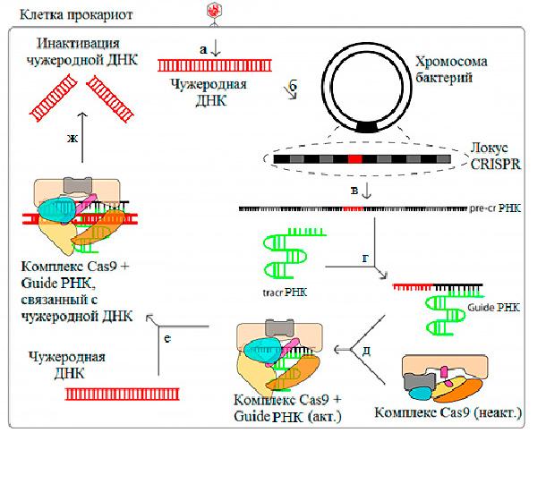 Система CRISPR-CAS 9 один из новейших способов лечения онкологии