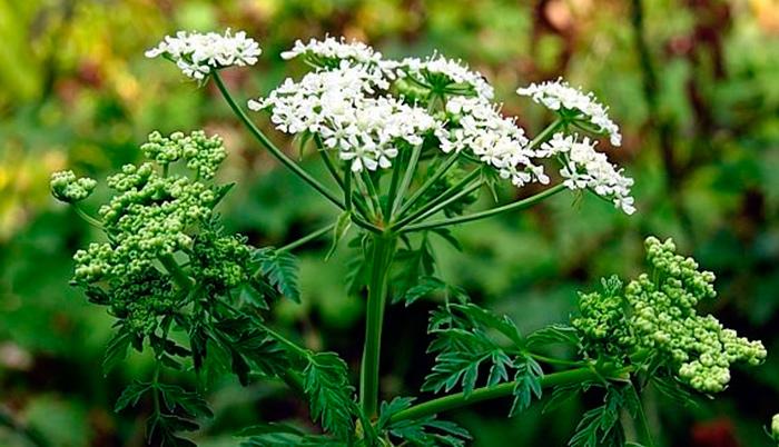 Растение болиголов пятнистый