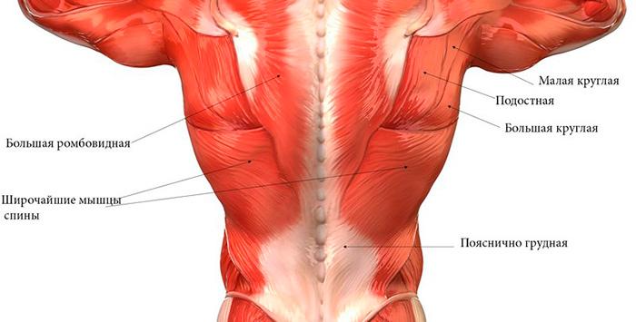 Строение мышц спины