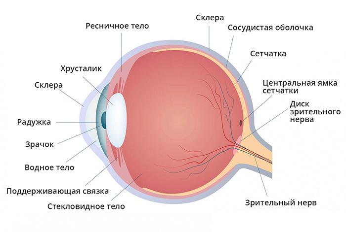 Структура человеческого глаза